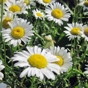 oxeye-daisy-flowers