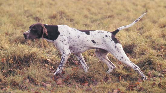Pointer Hunting Dog Video